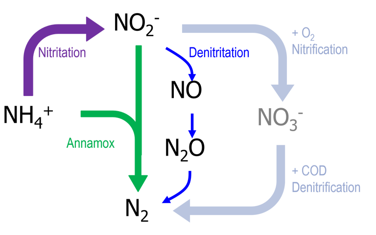 Biochemical pathways for nitrogen-containing species. Ammonia is converted to nitrogen either via nitrate (nitrification followed by denitrification), nitrogen oxide (nitritation followed by denitritation) or via the Annamox process.